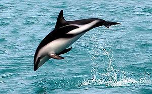 """A dusky dolphin named """"Nox""""."""