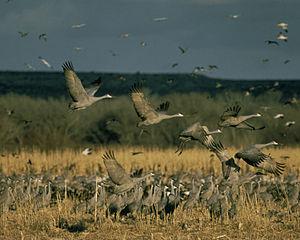 English: Sandhill cranes taking flight at Lake...