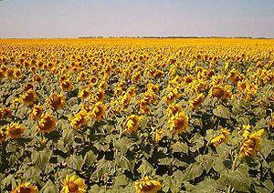 English: Sunflowers in Traill County, North Da...
