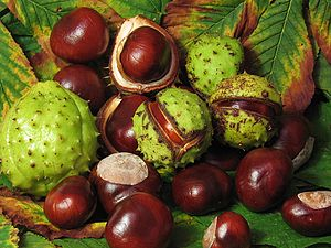 The fruit of the Horse chestnut tree. They are...
