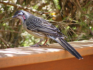 Anthochaera carunculata or Red Wattlebird at W...