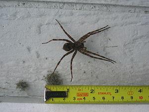 Wolf Spider (Virginia, USA)