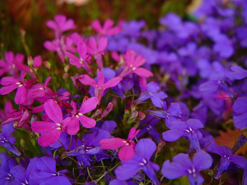 File:Blue and purple flowers against unfocused purple flowers.jpg