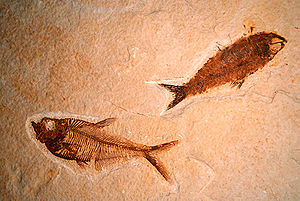 English: Fossil Fish from the GRF of Colorado....