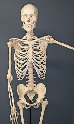 English: Human Skeleton on Exhibit at The Muse...