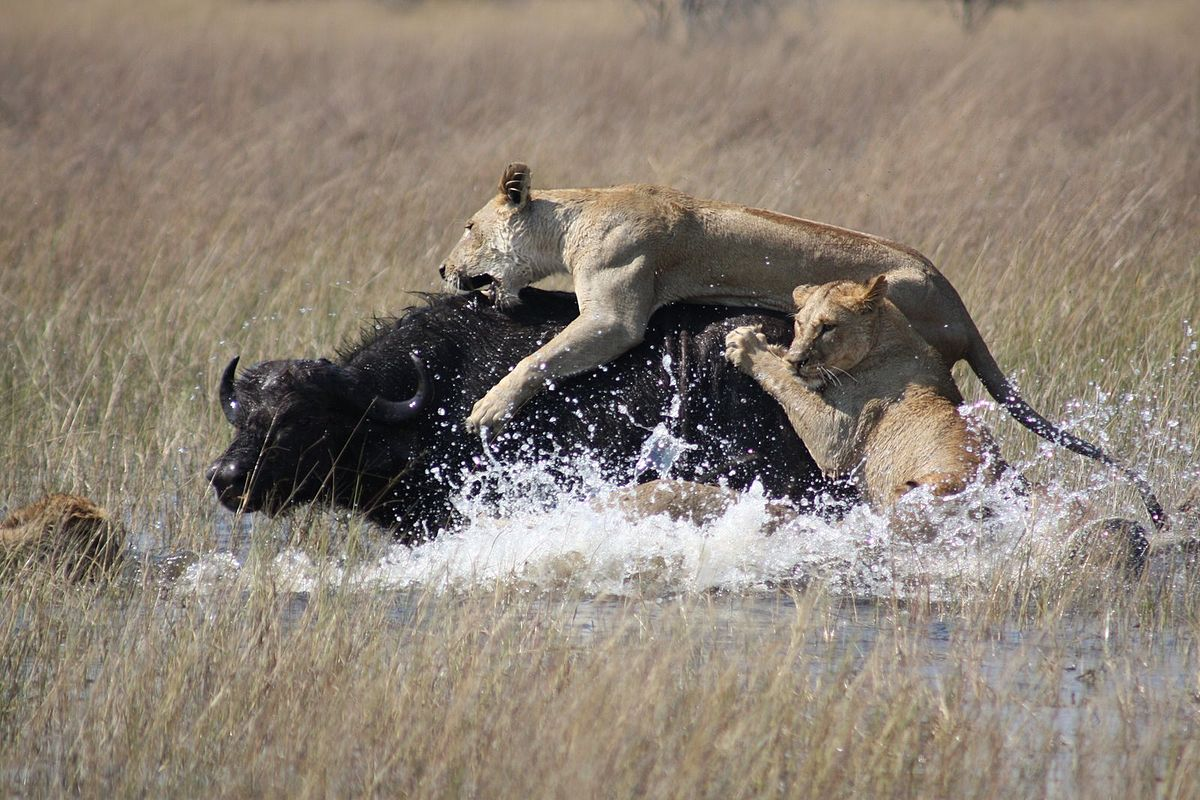 Lions hunting Africa.jpg