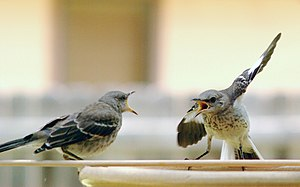 English: Northern Mockingbird juveniles at a b...