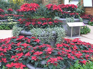 English: Poinsettia Display, Wisley Bright red...