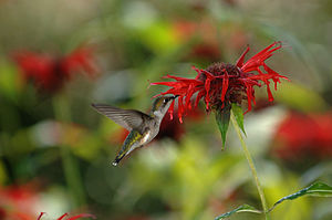 a ruby-throated hummingbird sipping nectar fro...