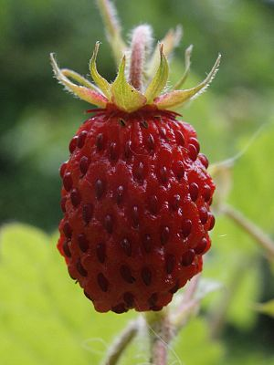 A closeup of a ripe wild strawberry.