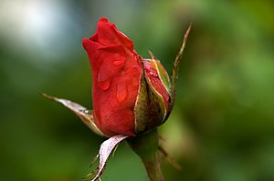 Picture of a red rose