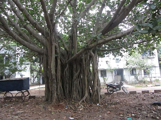 This tree is in Tamil territory. Is this the same banyan tree?