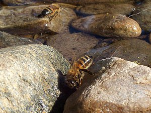 Bees drinking