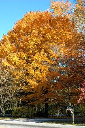 Golden sugar maple tree