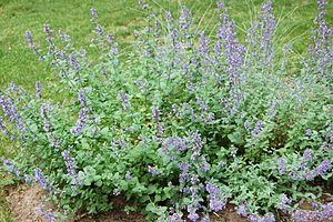English: Catmint