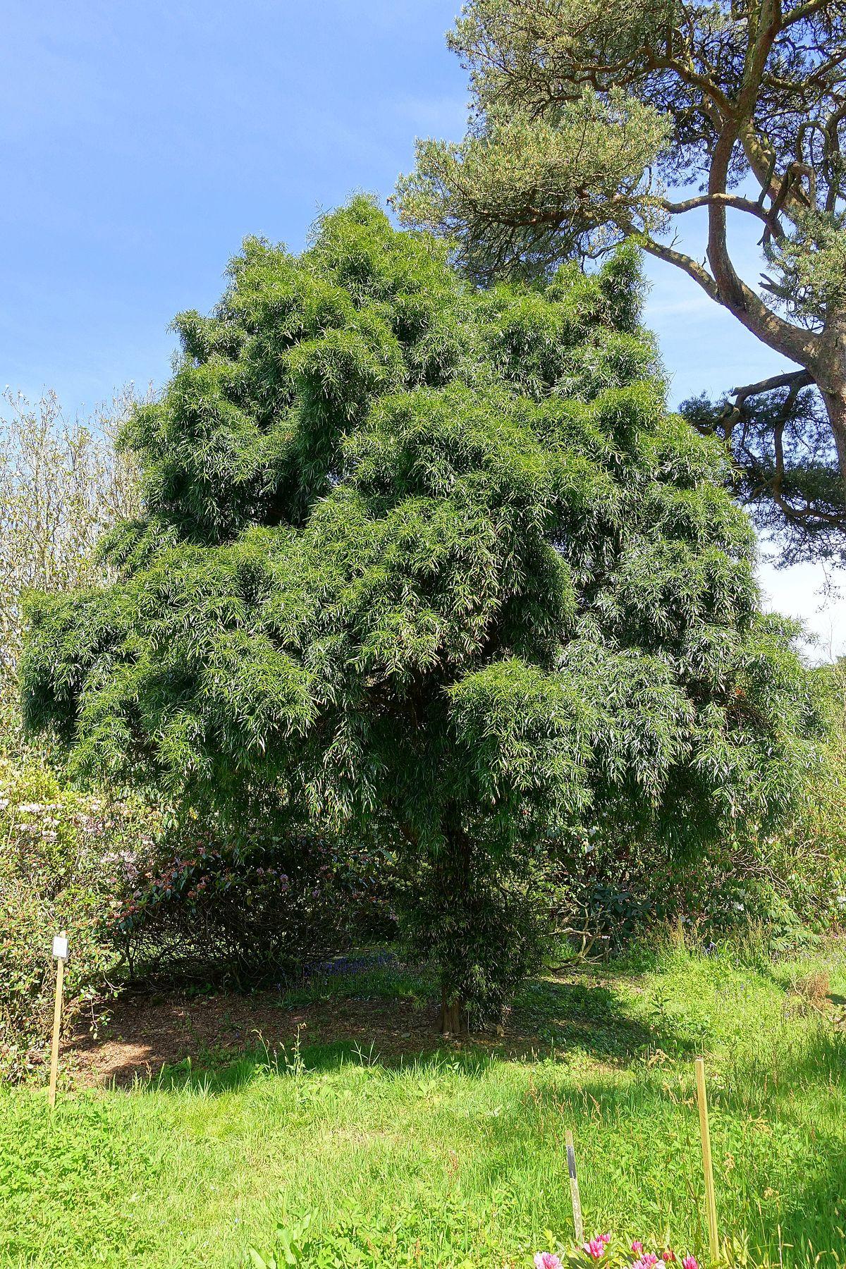 Podocarpus Salignus Wikipedia