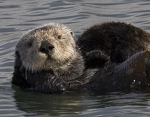 Cropped version of: Mother Sea Otter with pup ...
