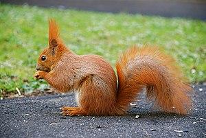 English: This is a photo of Squirrel (Sciurus ...