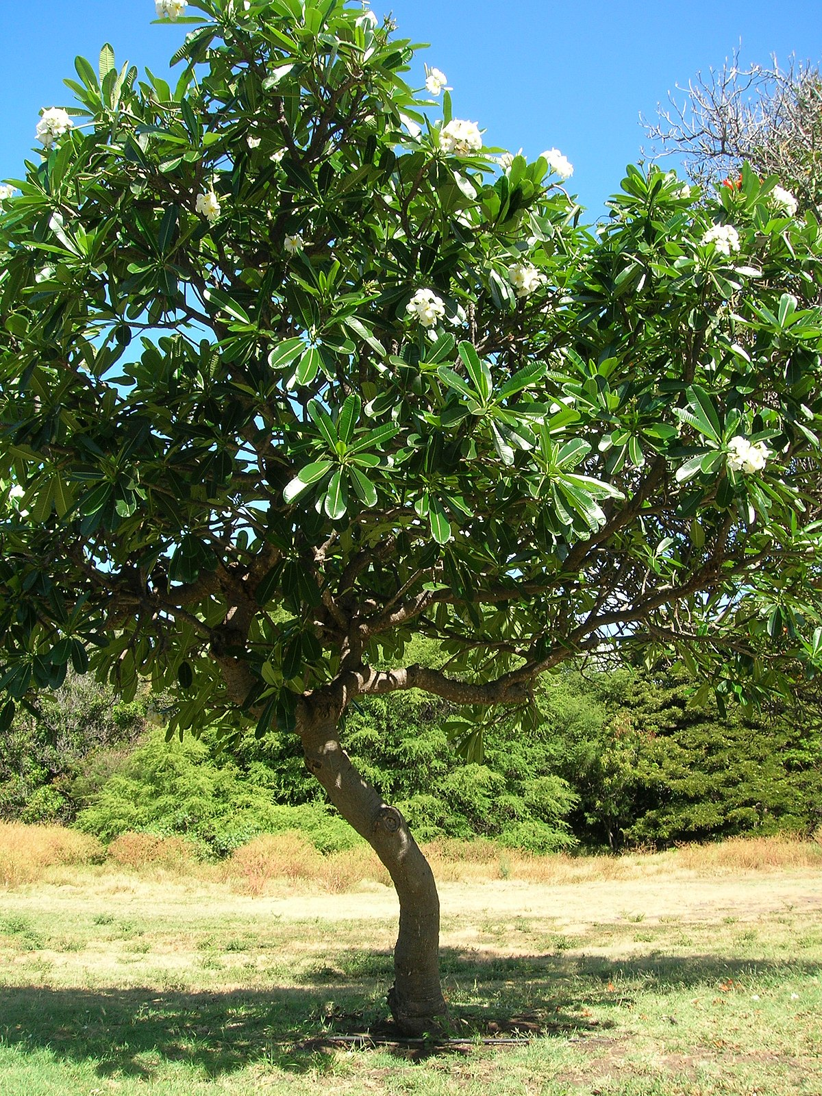 Plumeria Obtusa Wikimedia Commons
