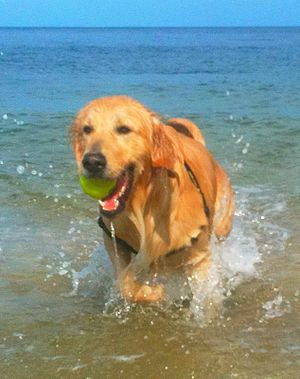 English: Golden retriever fetching a tennis ba...