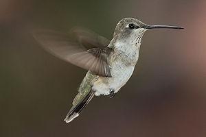 Black-chinned Hummingbird -- Moab, Utah, USA