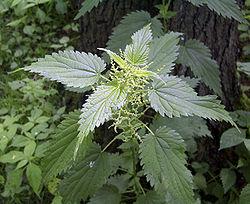 Urtica dioica subsp. dioica