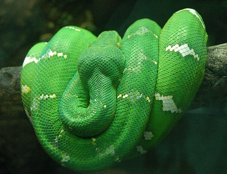 782px-Emerald_Tree_Boa_Wrapped_on_a_Bran