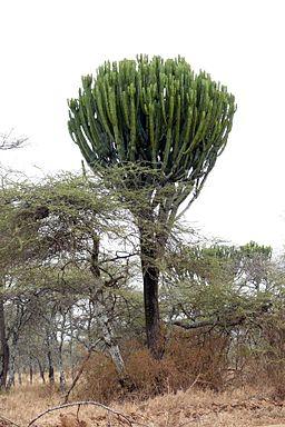 Euphorbia candelabrum 1