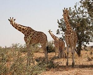 girafe, giraffes, giraffe, niamey, koure, kour...