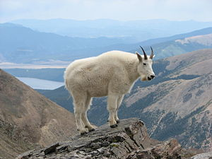English: Mountain Goat on Mount Massive, Color...