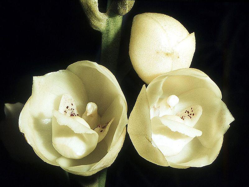 File:Peristeria elata Orchi 11.jpg