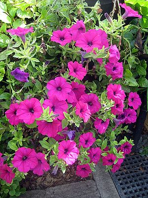 English: Petunias Petunias with trumpet like f...