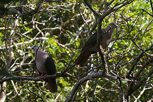 English: Photo of a pair of pink pigeons from ...