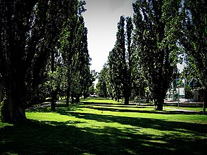 Poplar trees lined up along campus in Australi...