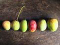 Vikramshila Agrovet 2 Langra Mango farm, Mathurapur, Bhagalpur Bihar.JPG
