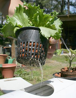Rix Dobbs shows the roots of a lettuce plant g...