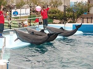 a show of Bottlenose Dolphins in Echizen Matsu...