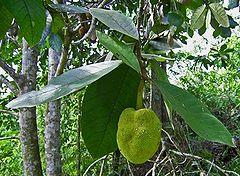 Buah terap di pohonnya, Kutai Barat, Kalimantan Timur