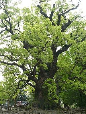 English: The biggest Japanese cinnamon tree lo...