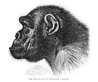 Profile of Chimpanzee Pan troglodytes or Pan paniscus ?