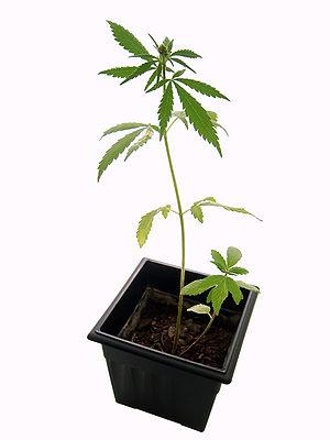 English: Marijuana plant. Español: Planta de m...