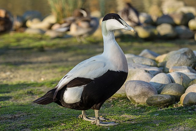 A male Somateria mollissima (Common Eider) at the London Wetland Centre, Barnes, UK. By Diliff, 2013