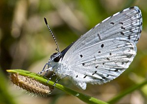 Spring Azure Butterfly with a caterpillar