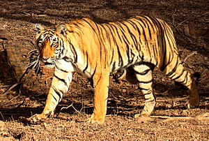 English: A Bengal tiger in the wild in Rantham...