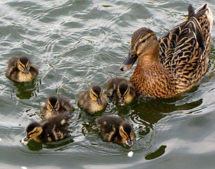 duck ducklings wildlife water
