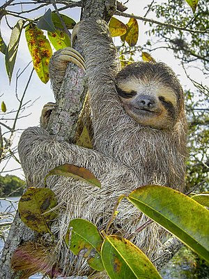 Three-toed-sloth (Bradypus variegatus), Lake G...