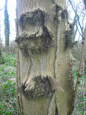 Ash tree canker, Lawthorn Wood, North Ayrshire...