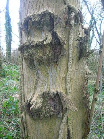 ash tree meaning