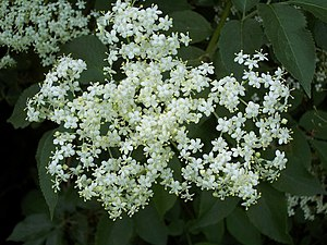 English: Elder Flower Just waiting to be picke...