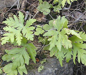 Fern with simple, lobed fronds. Photo taken by...